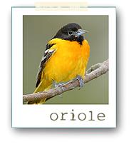 Oriole1