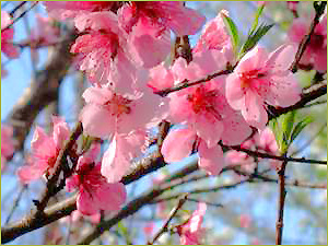 Peach Tree Flowers Are The Prettiest Shade Of Pink These Trees Generally Small Reaching Up To Fifteen Feet At Crown With A Spreading Canopy