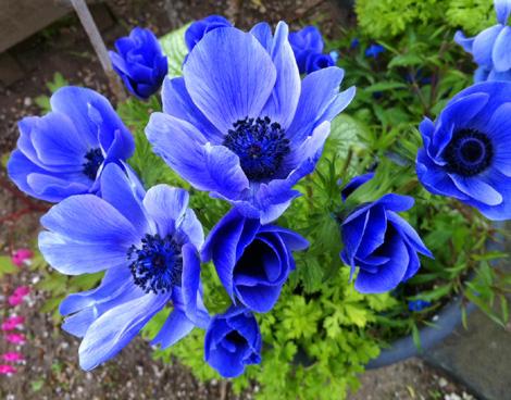 Blue_ane