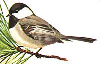 Mex-chickadee