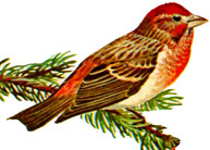Red-finch
