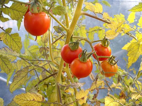 Tomatoes10-12