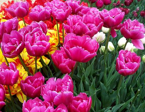 Tulip256