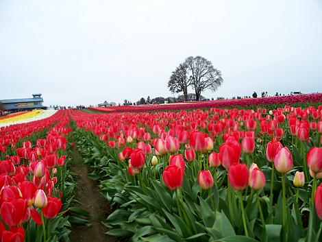 Tulip059