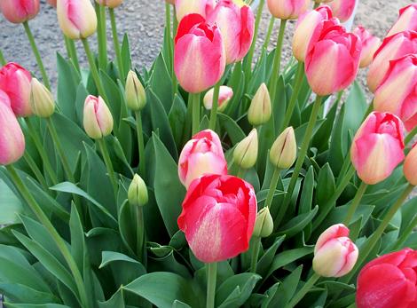Tulips112