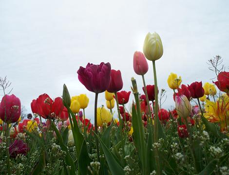 Tulip166