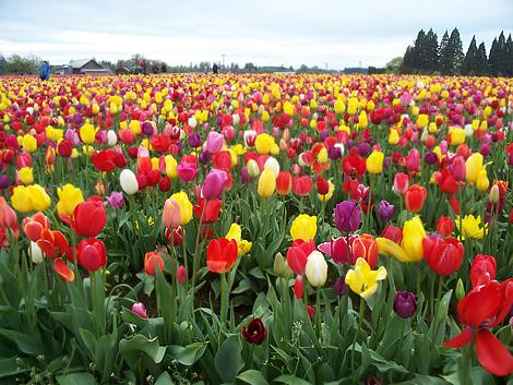 Tulip213