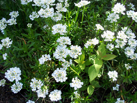 Candytuft2014a