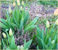 Tulips2014