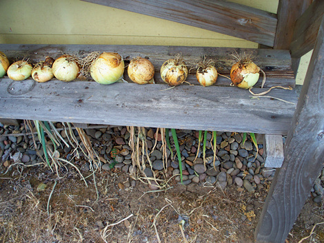 Onions-drying