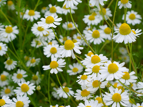 Chamomile_flowers