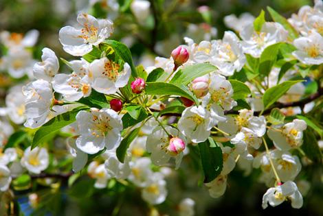 Crab_apple_blossom