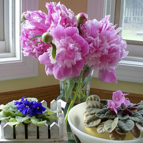 Peonies_african_violets