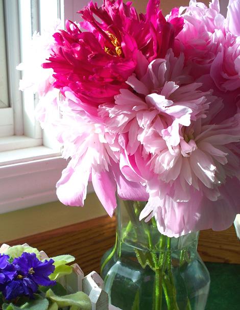 Peonies_african_violets1