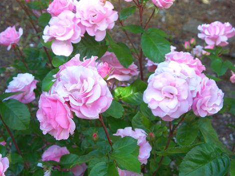June_roses