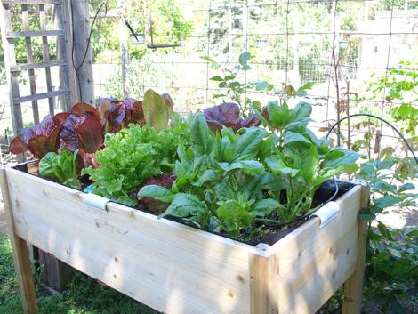 Lettuce_table